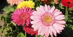 Como cultivar... Gérberas | <i>Crédito: Shutterstock
