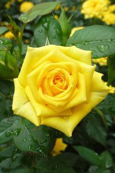 En especial las rosas amarillas tienen la escencia más deliciosa que he usado en mis perfumes. La primavera también nos obsequia perfumes