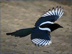 My small, big world Pretty Birds, Love Birds, Beautiful Birds, Crows Ravens, Bird Wings, North And South America, Cockatiel, Birds Of Prey, Parakeet