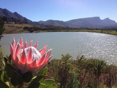 Steenberg farm dam with Protea in bloom Bloom, Mountains, Nature, Travel, Viajes, Naturaleza, Destinations, Traveling, Trips
