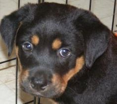 Kotter is an adoptable Rottweiler Dog in Columbia, SC. Kotter is a quiet puppy who is a little on the shy side. He was just rescued from a local kill shelter yesterday and is now in a foster home whe...