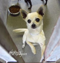 A4852169 I am a very friendly 7 yr old neutered male tan/white Chihuahua mix. I came to the shelter as a stray on July 5. available now Baldwin Park shelter https://www.facebook.com/photo.php?fbid=1000198633325307&set=a.705235432821630&type=3&theater