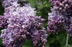 lilacs Hope Images, Lilacs, Bracelets, Artwork, Plants, Work Of Art, Auguste Rodin Artwork, Lilac Bushes, Syringa Vulgaris