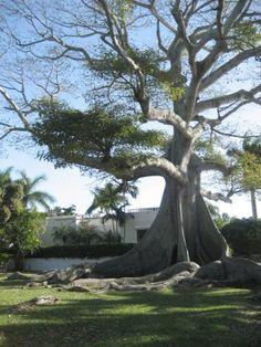 Royal Poinciana Tree behind Royal Poinciana Chapel, Palm Beach, Florida