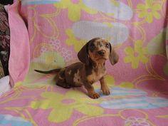 Beautiful Blue eyed - choc & tan dapple miniature dachshund <3