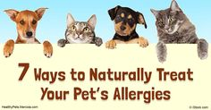 Is your pet suffering from allergies? Find out the signs, symptoms and treatments for pet allergies and know how your pet can stay away from them. http://healthypets.mercola.com/sites/healthypets/archive/2016/08/07/pet-allergies-natural-treatment.aspx