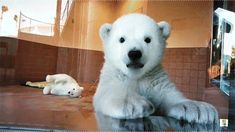 18 Adorable Animal GiFs To Brighten Your Day | Odyssey - Baby polar bear waves hello! (or he's cleaning the window)