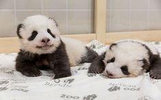 Twice as Cute! Berlin Zoo Releases New Photos of Growing Baby Panda Twins Baby pandas Twice as Cute! Berlin Zoo Releases New Photos of Growing Baby Panda Twins Baby pandas The Zoo, Baby Zoo, Endangered Pandas, Baby Panda Bears, Baby Pandas, Berlin Zoo, Baby Animals, Cute Animals, Amigurumi