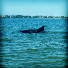 A lone bottlenose dolphin prowling inshore waters. ••• Photo art, paintbrush effect