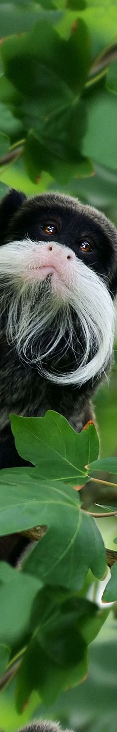 Emperor Tamarin Monkey...saw one yesterday, but not in the wild. Super cute!