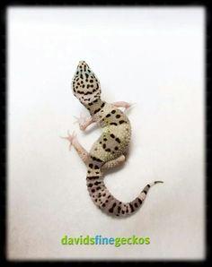 Mack snow (E. facsiolatus line), David's Fine Geckos--Stockertown, Pennsylvania