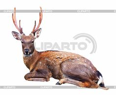 https://img2.cliparto.com/pic/xl/229372/4044055-sitting-sika-deer.jpg