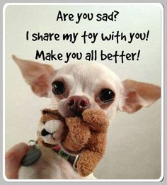 The Chihuahua is basically a dog's breed. The reason of attraction of Chihuahua is his small size, coat varieties and colors. Chihuahua memes are famous because of his funny face and expressions. Teacup Chihuahua, Chihuahua Love, Chihuahua Puppies, Cute Puppies, Cute Dogs, Dogs And Puppies, Doggies, Chihuahua Quotes, White Chihuahua