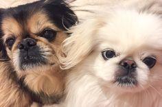 Bailey and Isabella Tiny Monkey, Buddhist Teachings, Fu Dog, Pekingese Dogs, Chinese Mythology, I Love Dogs, Dog Breeds, Balls, Kittens