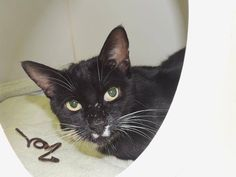 """SPIRIT - A1085868 - - Staten Island  ***TO BE DESTROYED  09/04/16***SECOND CHANCE FOR HANDSOME TUX!! SWEET SPIRIT NEEDS YOU! A volunteer writes, """"Spirit is a handsome fellow who will greet you with a meow. He just loves attention and being petted. Sometimes when he plays too hard, he will get overstimulated, and he needs to calm down and take a breather. Cat parents in an adult household with lots of experience with cats would be the best cat parents for Spirit since"""