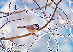 """Winter Chickadee""   by Lisa Lakel"