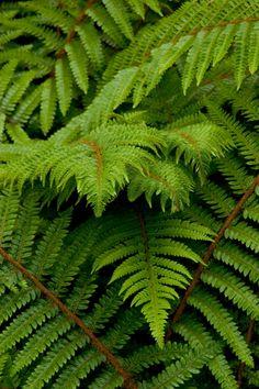 Alaskan fern for zone 5. Loves shade. #shadecontainergardeningideas