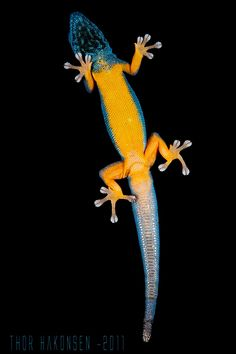 Lygodactylus williamsi by Thor Hakonsen, via Flickr