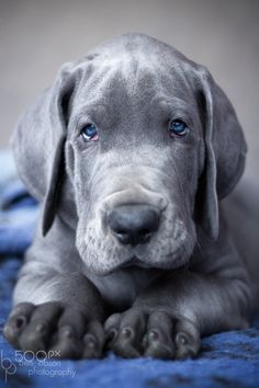 Blue Boy - Great dane puppy looking cool