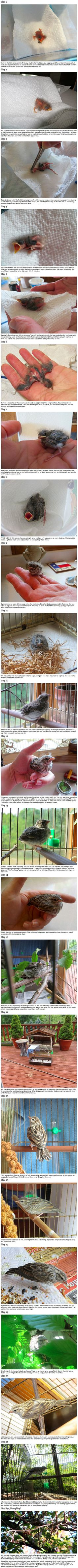 A veterinarian was jogging one day when he stumbled upon this tiny freshly hatched songbird that had fallen out of its nest. Unable to locate the nest so he could return the baby bird to it, he decided to take it home and hand raise it himself. Here is the amazingly beautiful story...