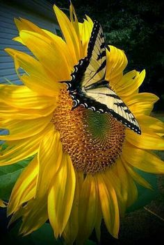 Butterfly on a sun flower.