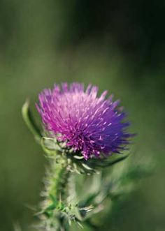 Milk Thistle: Reversing #Liver Damage