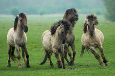 lysvik-photos:    konik-LSVK0808 on Flickr.  Wild Konik horses have fun in the rain @ Oostvaardersplassen