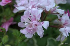 PERFECT PELARGONIUMS: Jip's Twink - A charming miniature Ivy Leaf Pelarg...