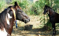 Marwari Stallion Looking Beautiful For The Cameras by Horses Of India, via Flickr