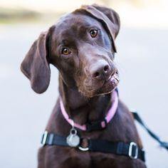 Mesa, Labrador Retriever (15m/o), Woodland Park, Seattle,...//the dogist