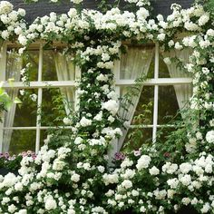 Windows covered in white climbing roses. White Climbing Roses, Climbing Vines, White Roses, White Flowers, Climbing Hydrangea, Beautiful Gardens, Beautiful Flowers, Rare Flowers, Rose House