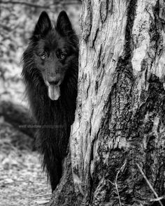 WolfCub the Belgian Sheepdog peering from around a tree.