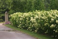 ********Hydrangea paniculata Limelight - White Flower Farm want to purchase 2015 Bobo Hydrangea, Hydrangea Bush, Hydrangea Bouquet, Hydrangea Care, Hydrangeas, Green Hydrangea, Green Flowers, Hydrangea Paniculata, Limelight Hydrangea