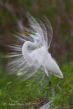 Great Florida Egret. By Adams Serra