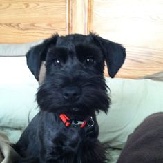 OH my this is such an adorable little Black Mini Schnauzer puppy❤️