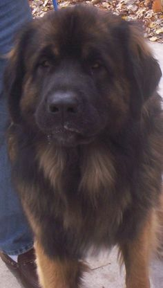 Leonberger - yes please!