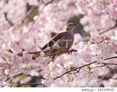 桜の蜜を吸うヒヨドリ