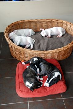 Heute schlafen wir getrennt nach Farben Big Dogs, Dogs And Puppies, Baby Animals, Cute Animals, Bull Terrier Puppy, English Bull Terriers, Border Terrier, Best Dog Breeds, Dog Friends