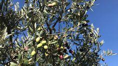 Olive come diamanti: in 3 minuti rubati fino a 30 kg ad albero - https://blog.rodigarganico.info/2017/attualita/olive-diamanti-3-minuti-rubati-30-kg-ad-albero/