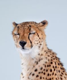 Why Do Cats Purr? It's Not Just Because They're Happy   A cheetah.   Credit: Getty Images   From WIRED.com