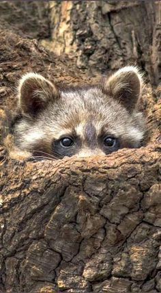 Peek-a-boo Cute Baby Animals, Animals And Pets, Funny Animals, Funny Raccoons, Ferrets, Nature Animals, Wild Animals, Beautiful Creatures, Animals Beautiful