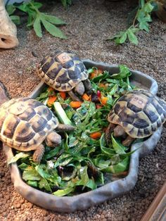♥ Pet Turtle ♥  Can't wait to get some of these one day! Herman Tortoise