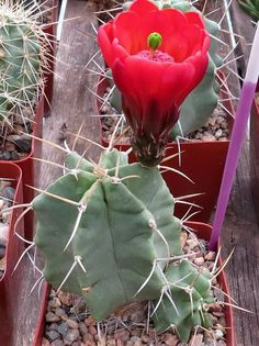 "Echinocereus triglochidiatus  ""Pinkish Reds"""