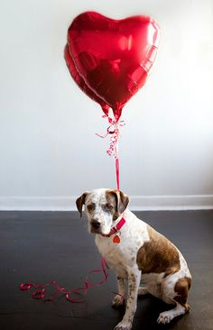 20 Most Cutest Valentine's Day Dogs Valentines Day Dog, My Funny Valentine, Valentine Day Cards, Valentine Wishes, Dog Love, Puppy Love, Party Fiesta, Valentine's Day, Heart Balloons