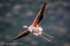 Lesser Flamingo.   Lake Bogoria.   Kenya.    www.ingogerlach.com