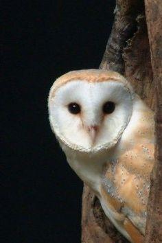 Birds of Prey - Barn Owl - Black background Most Beautiful Animals, Beautiful Birds, Beautiful Creatures, Majestic Animals, Animals Images, Nature Animals, Cute Animals, Owl Bird, Pet Birds