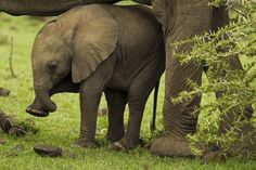 Africa | Elephant calf, underneath its mother, feeling its foot playfully with its trunk. Masai Mara National Reserve, Kenya | ©Beverly Joubert