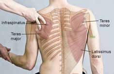 In this image, you may find Teres Minor And Teres Major Anatomical Landmark. Massage Tips, Massage Techniques, Massage Therapy, Massage Benefits, Human Muscle Anatomy, Human Anatomy And Physiology, Shoulder Anatomy, Reflexology Massage, Medical Anatomy