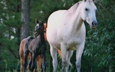 Smart Little Pistol bred Quarter Horse baby
