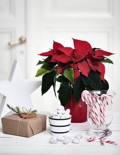 Kodin1, Elämäni koti, Joulukukat luovat talvijuhlan sulotuoksun #elamanikoti